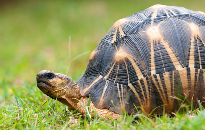 Radiated tortoise shell