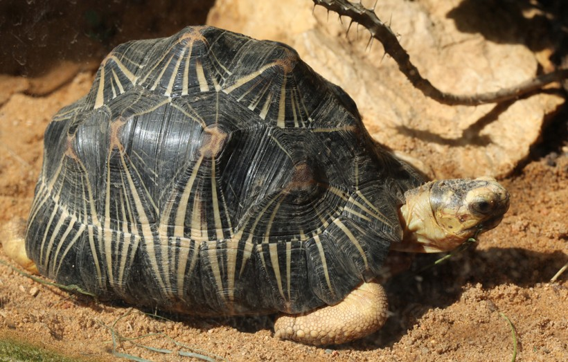 Radiated tortoise in the spiny forest of Madagascar