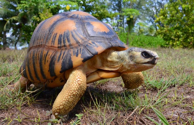 Radiated tortoise walking