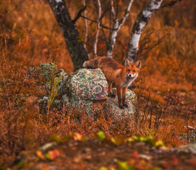 red fox in a beautiful red-brown environment