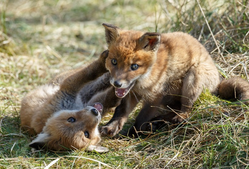 Red Fox cubs playing in grass