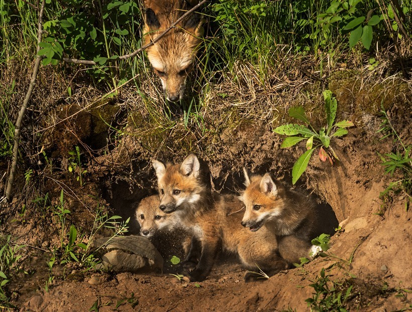 Red Fox kits in a den, mother watching from above