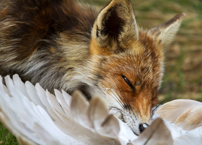 Red Fox eating a bird