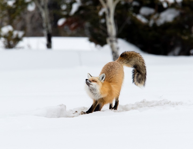 Red Fox stretching in the snow
