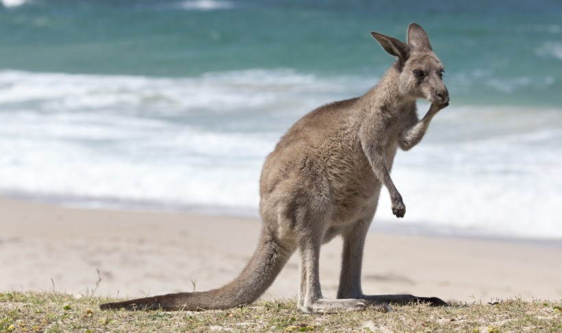 Red Kangaroo on the beach, depot beach, New South Wales, Australia