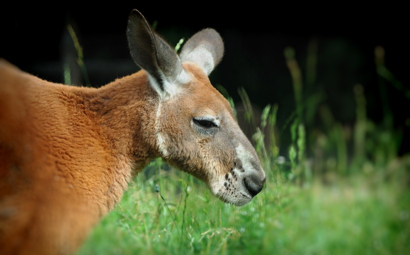 Red Kangaroo close up