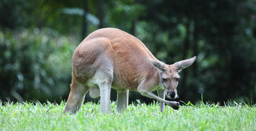 Red Kangaroo eating grasses, Queensland, Australia