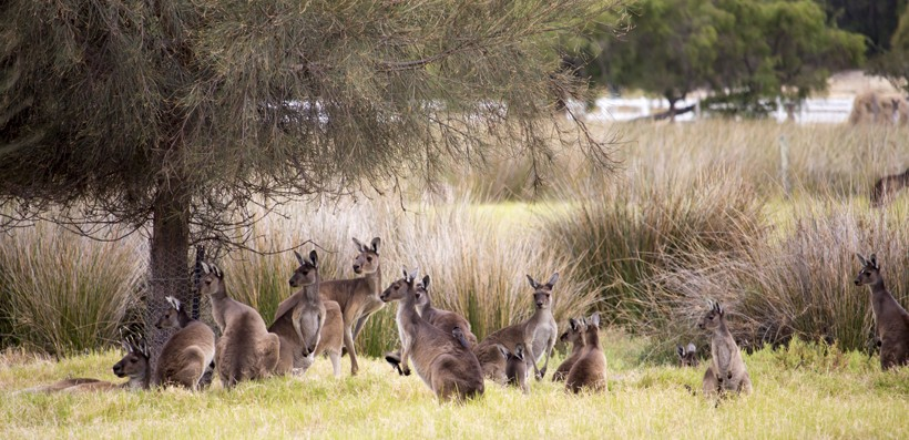 Red kangaroo mob grazing in a green grassy paddock on cloudy morning in autumn