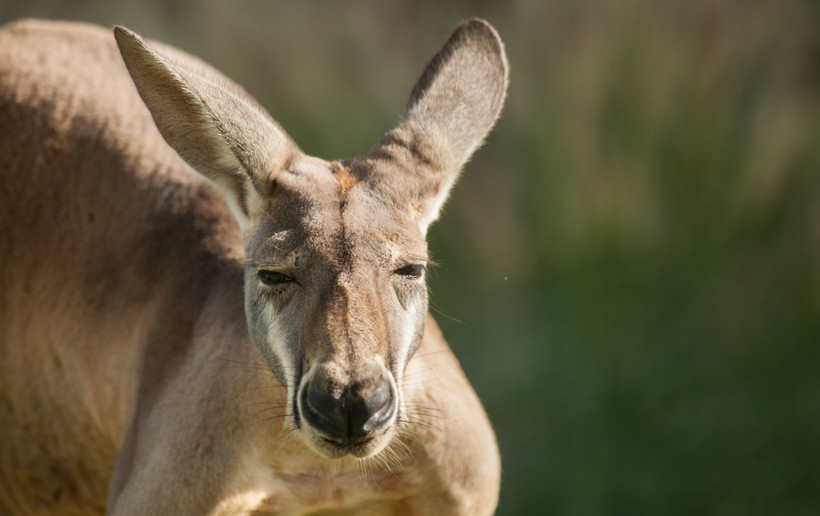 Red Kangaroo close up head