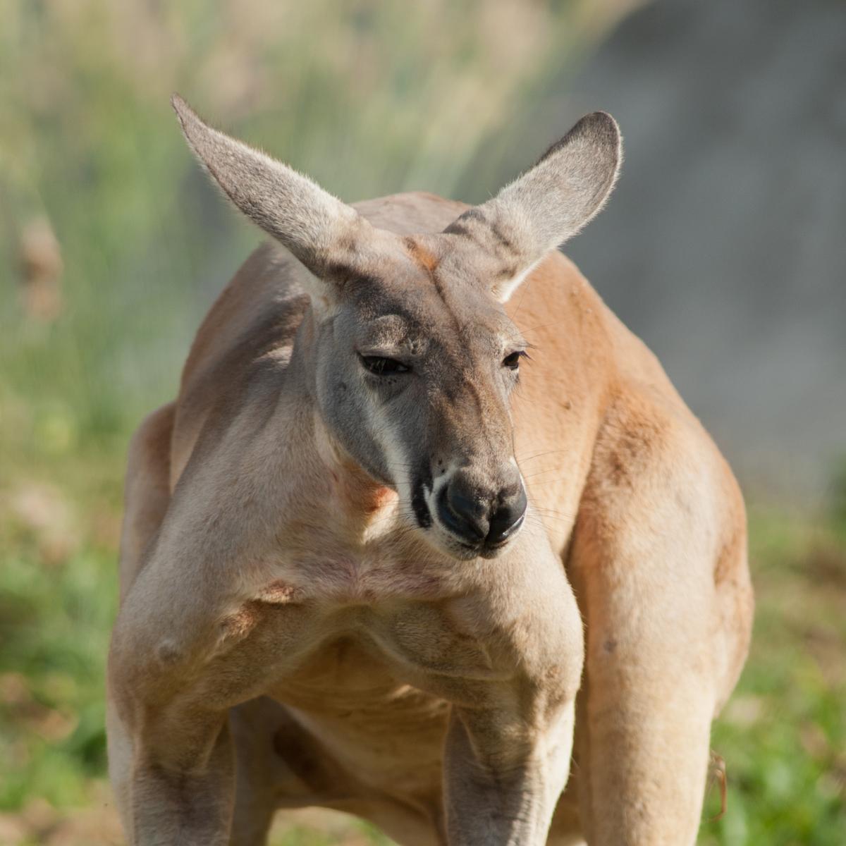 Red Kangaroo Macropus Rufus About Animals