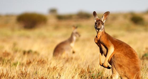 Red Kangaroo (Macropus rufus)   about animals