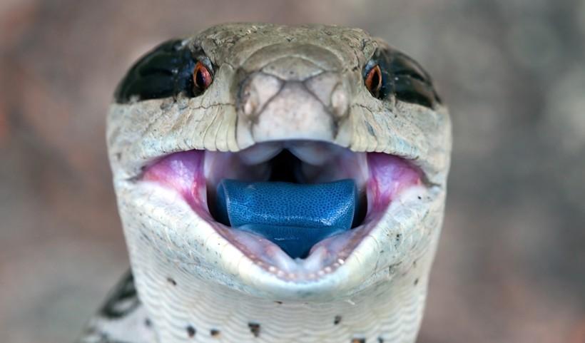Blue-tongued skink blue tongue