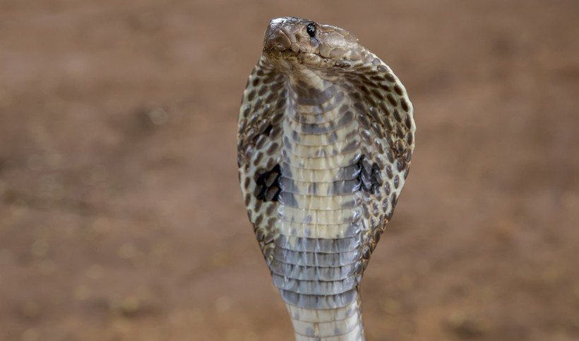 Cobra with neck skin spread out to look more threatening
