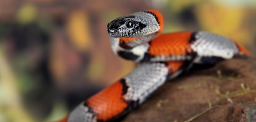 Coral snake on a branch