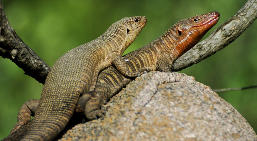 Giant plated lizards mating in Kruger national park, South Africa
