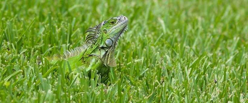 Green iguana camouflaged in grass