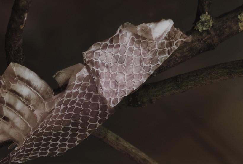 skin of snake (molt)