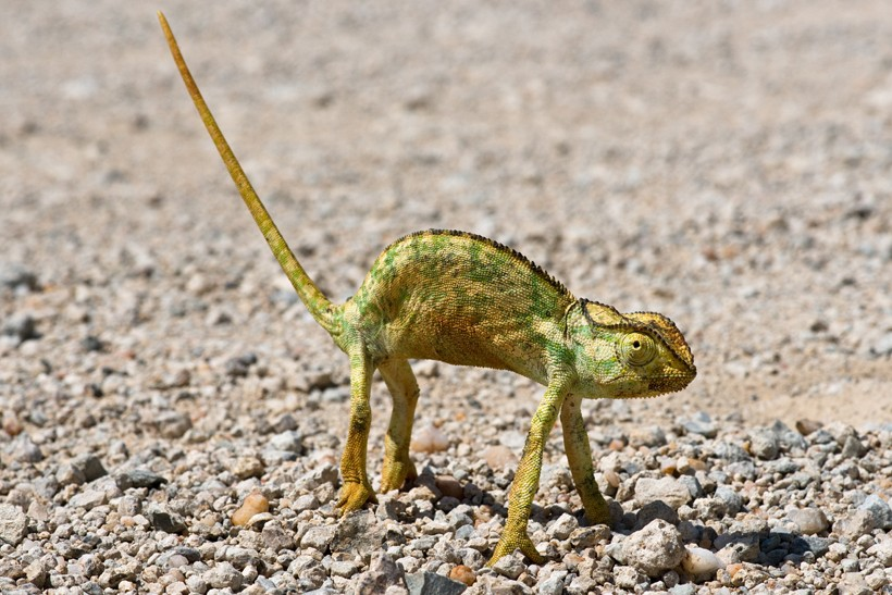 Namaqua chameleon cooling down standing on its legs