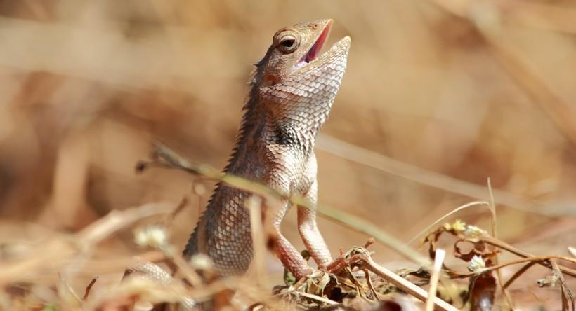 Oriental Garden Lizard cooling down by breathing