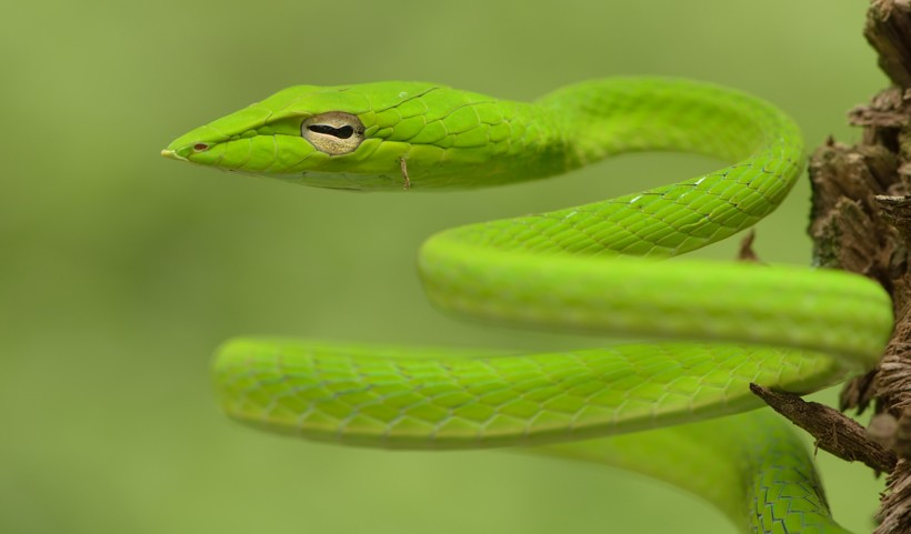 Green oriental whip snake with horizontal split-shaped eyes