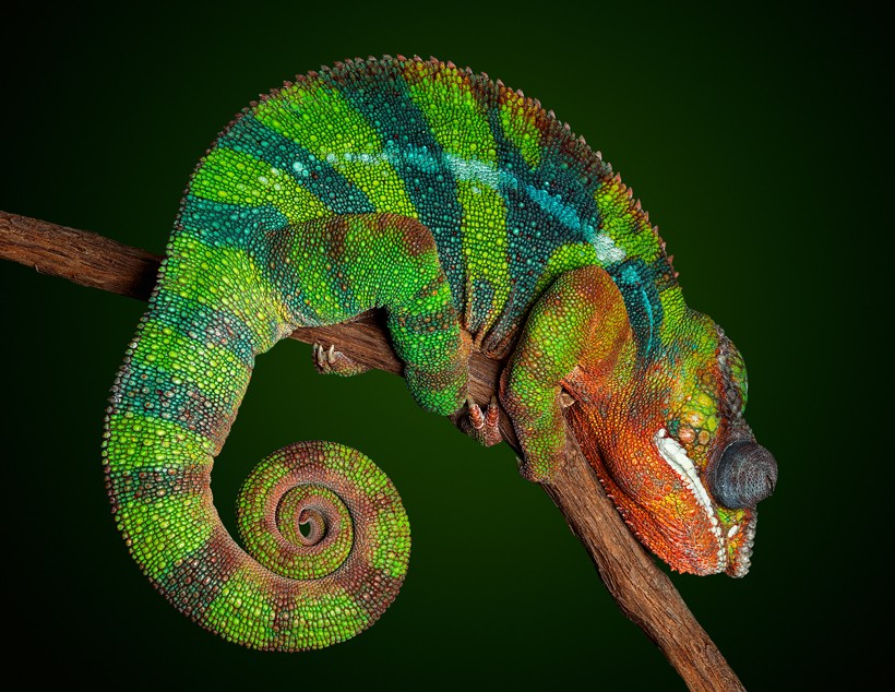 Panther Chameleon with night colors