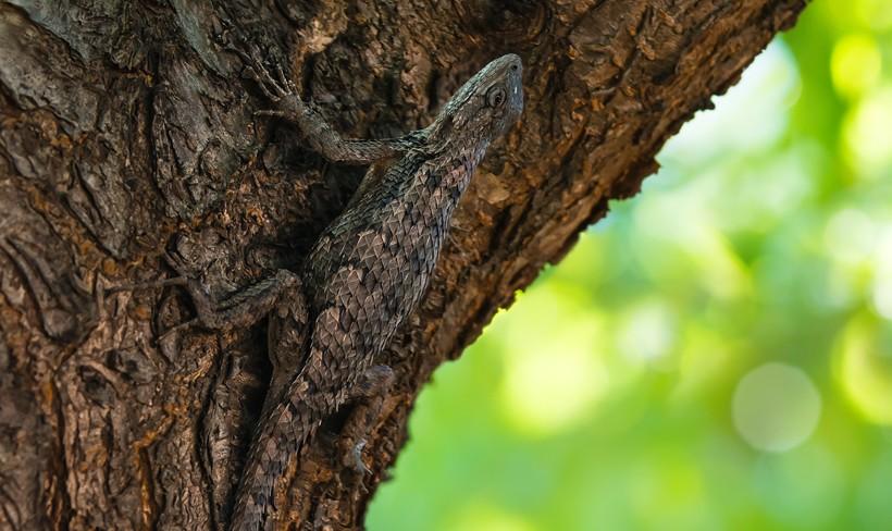 texas spiny lizard camouflaged on a tree bark