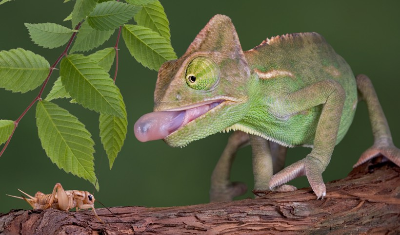 Baby veiled chameleon capturing a cricket