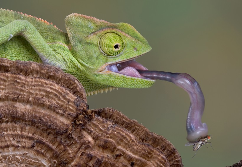 baby veiled chameleon picking up a fly with his tongue