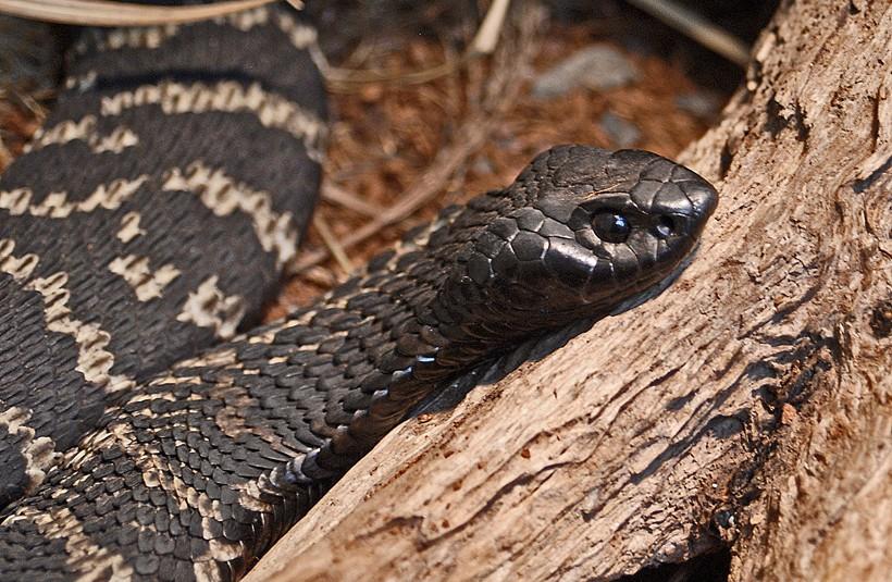 Closeup of the rinkhals spitting cobra
