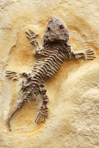Seymouria fossil, the ancestor of reptiles, mammals and birds