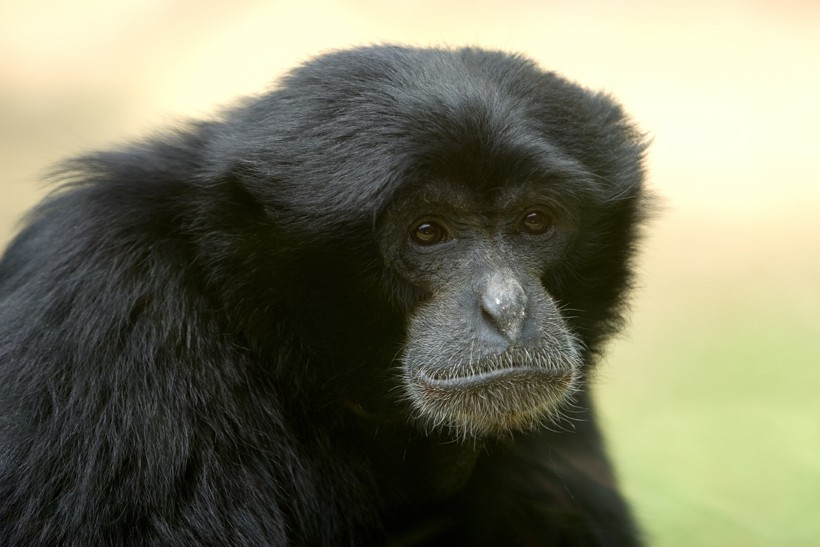 Closeup head siamang