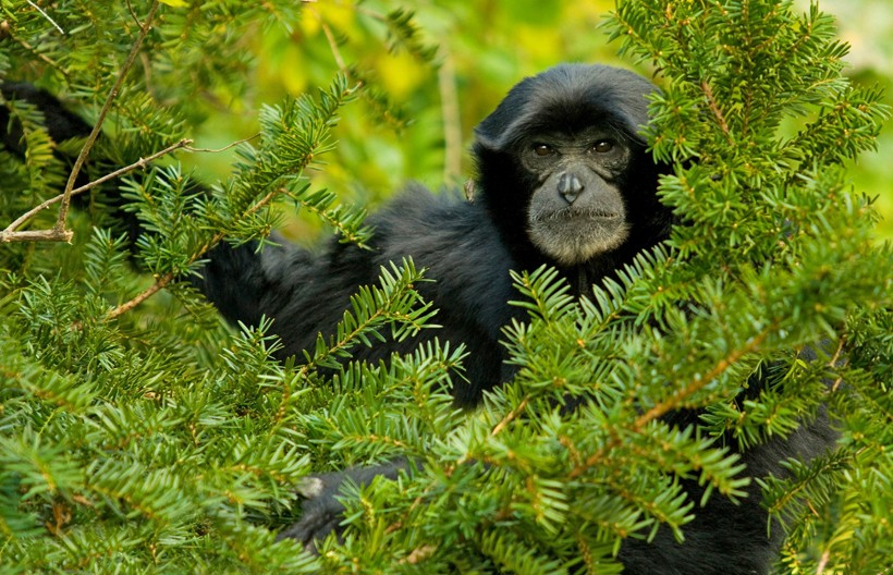 Siamangs primarily eat fruits and leaves, figs being their favorite.