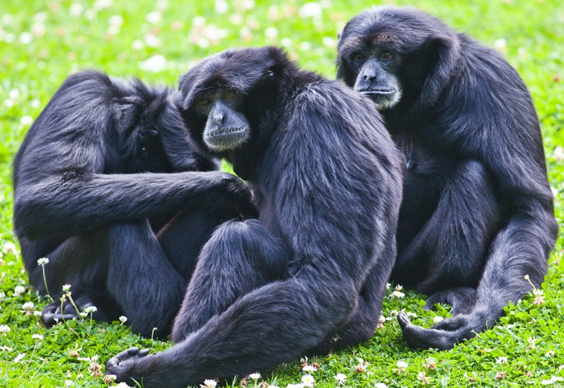 Siamang family siting on the ground