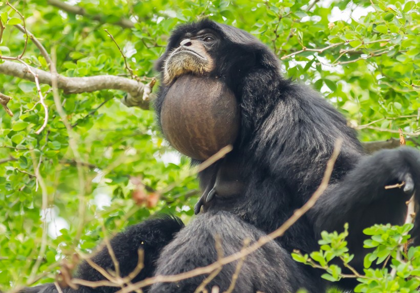 Gray gular (throat) sac of the Siamang