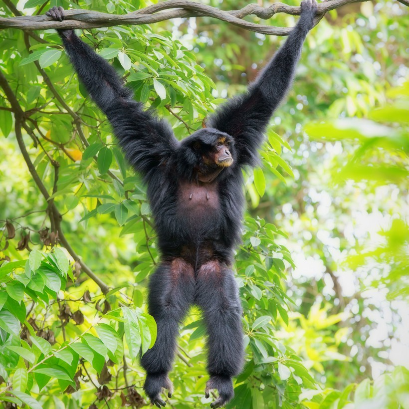 Malaysian siamang (Symphalangus syndactylus continentis) hanging in the trees of Malaysia