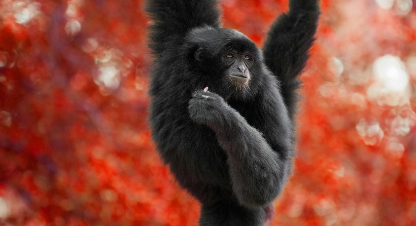 Siamang swinging through the red trees