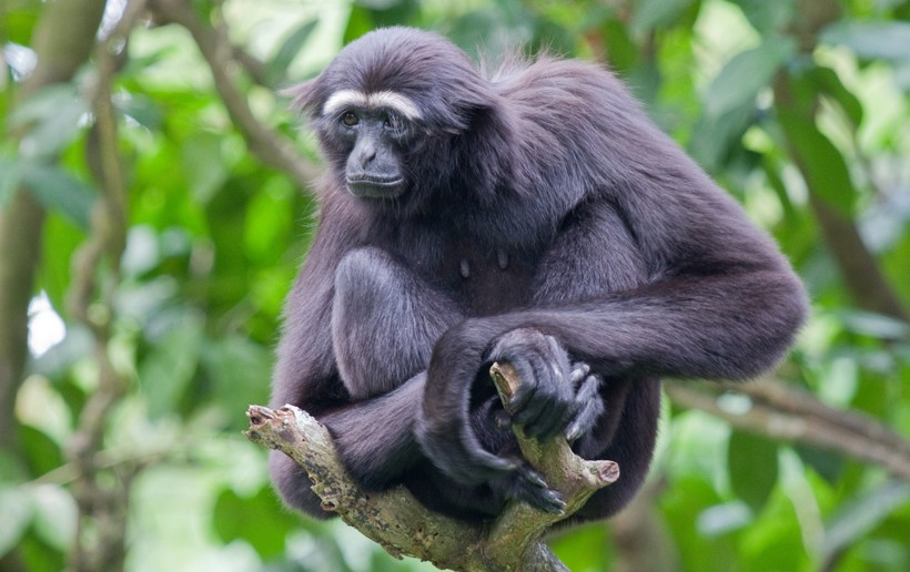 Siamangs are monogamous primates and have one partner for life
