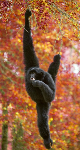 Siamang eating while swinging between the trees