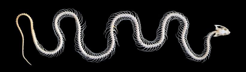 Skeleton of a grass snake