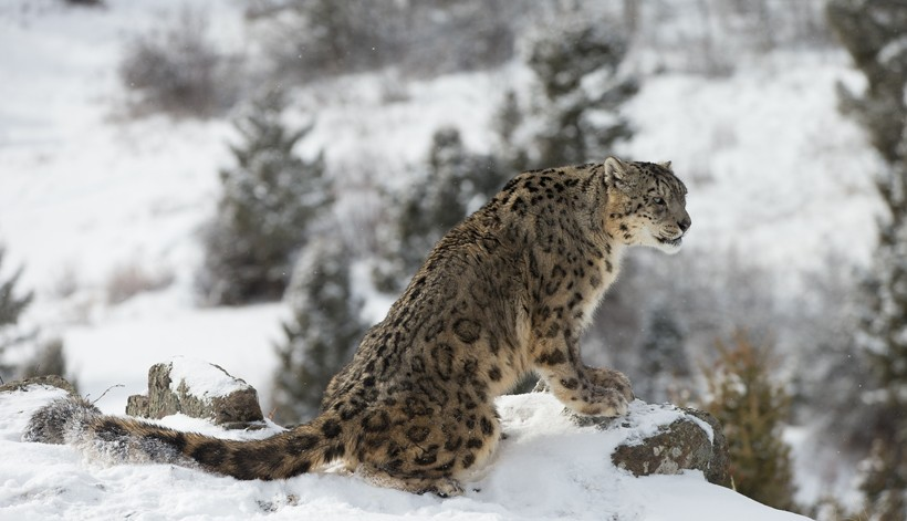 Elusive snow leopard on snow covered hillside