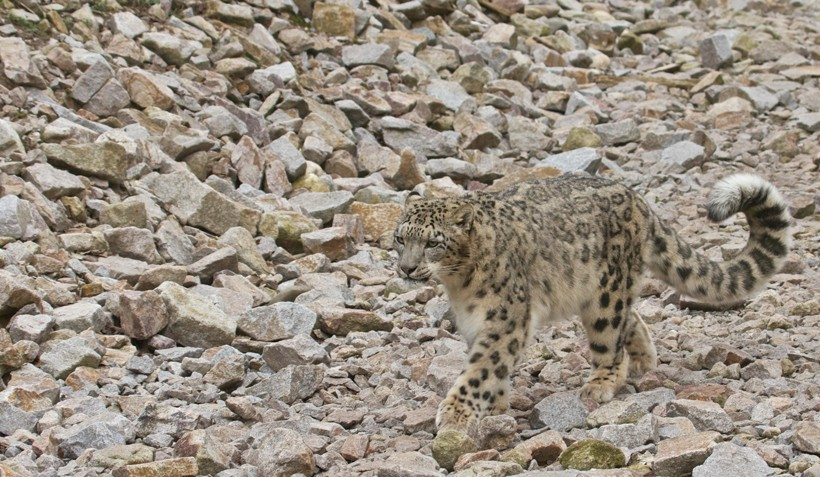 Snow leopard walking in a rocky desert