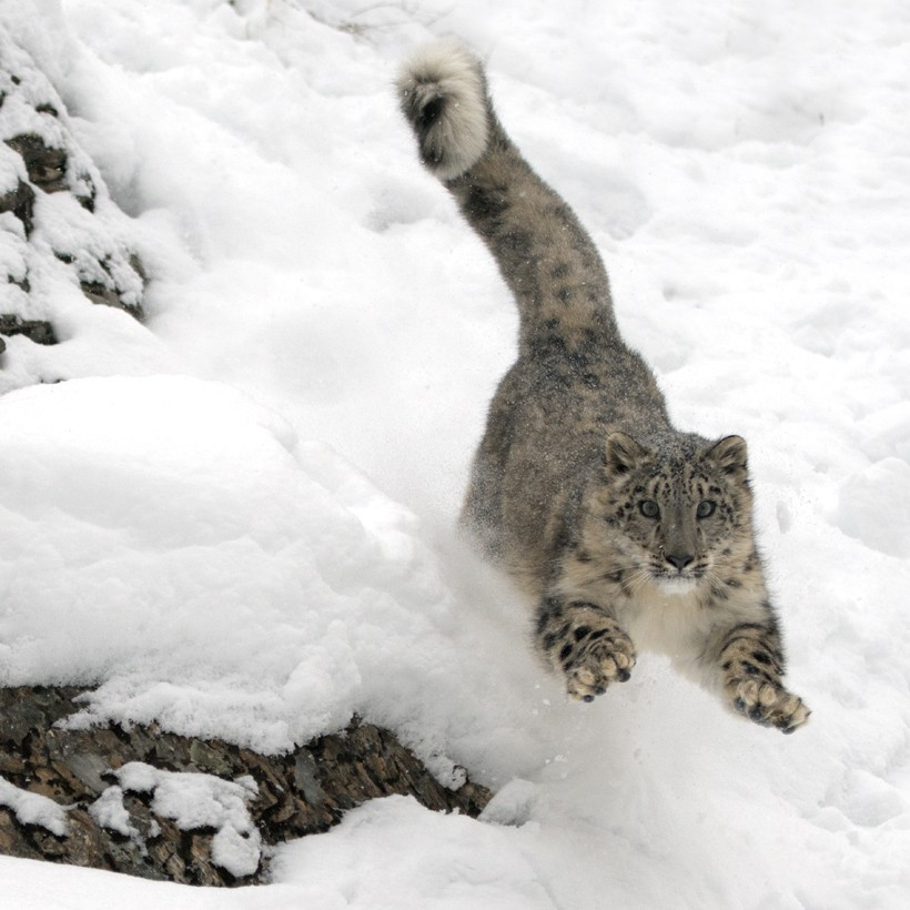 Snow leopard jumping off a mountain