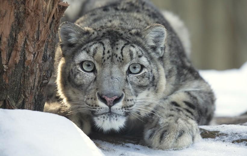 Snow leopard observing prey