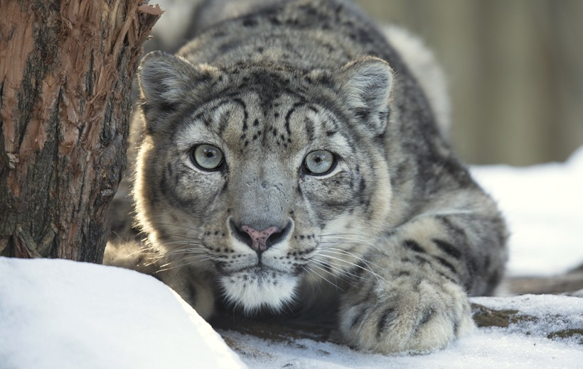 Snow leopard observing prey