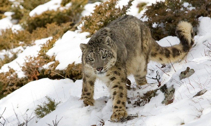 snow leopard walking on a hill