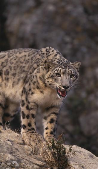 Portrait picture of a snow leopard