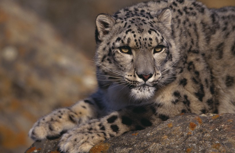 Snow leopard on rock