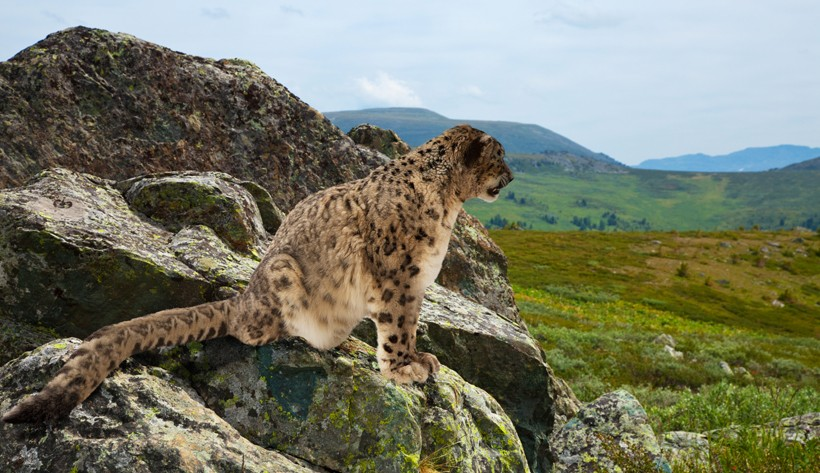 Snow leopard on a hill looking out for prey