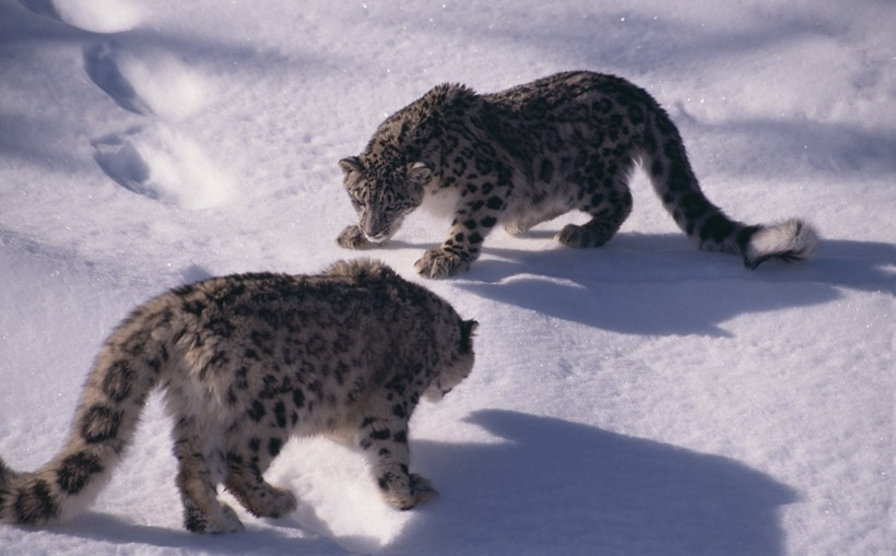 Snow leopards facing off