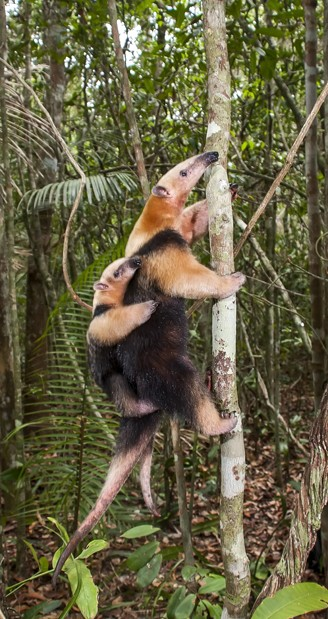 southern tamandua mother with young climbing a tree